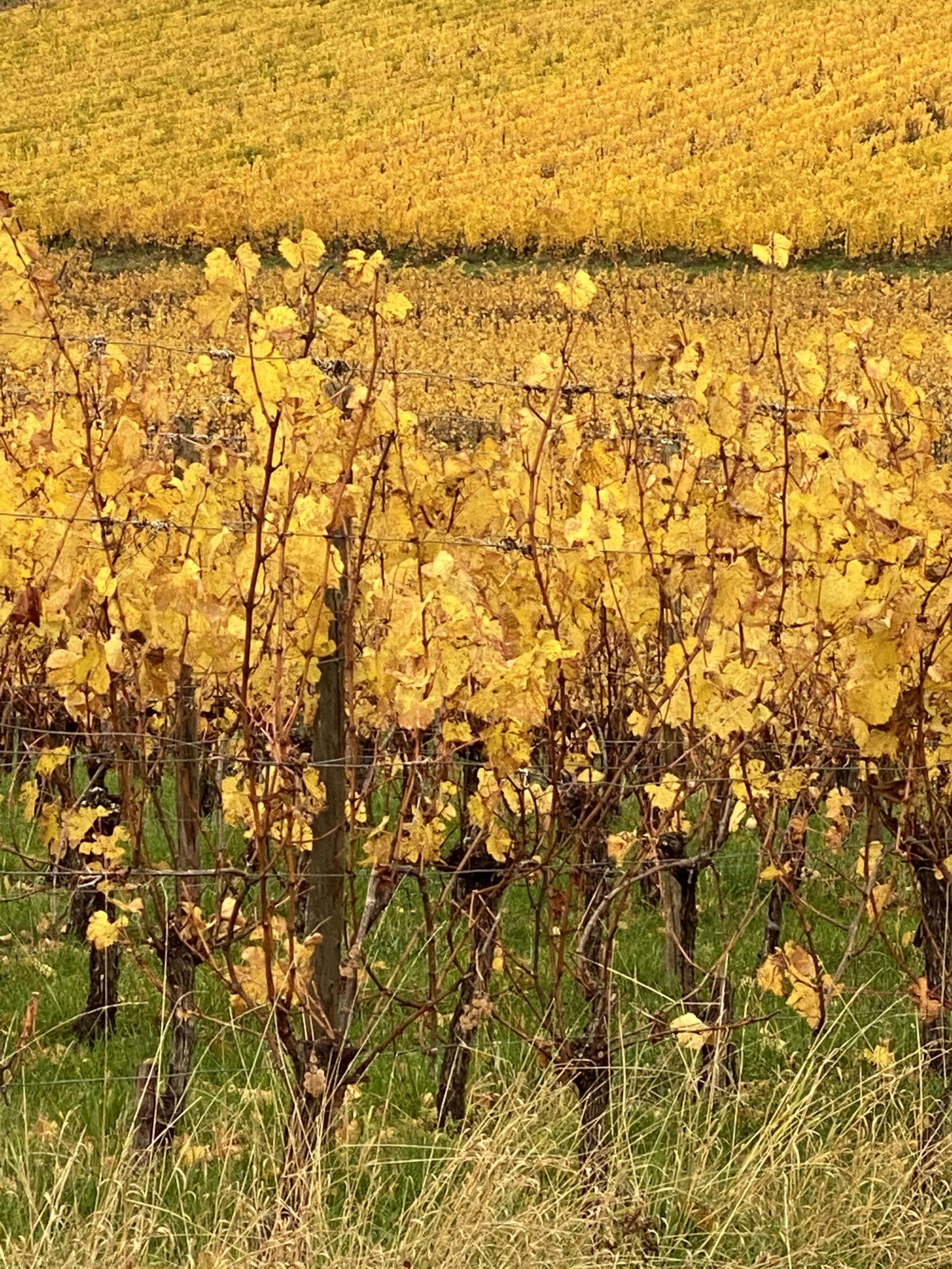 Vignes de Ribeauvillé, à l'automne